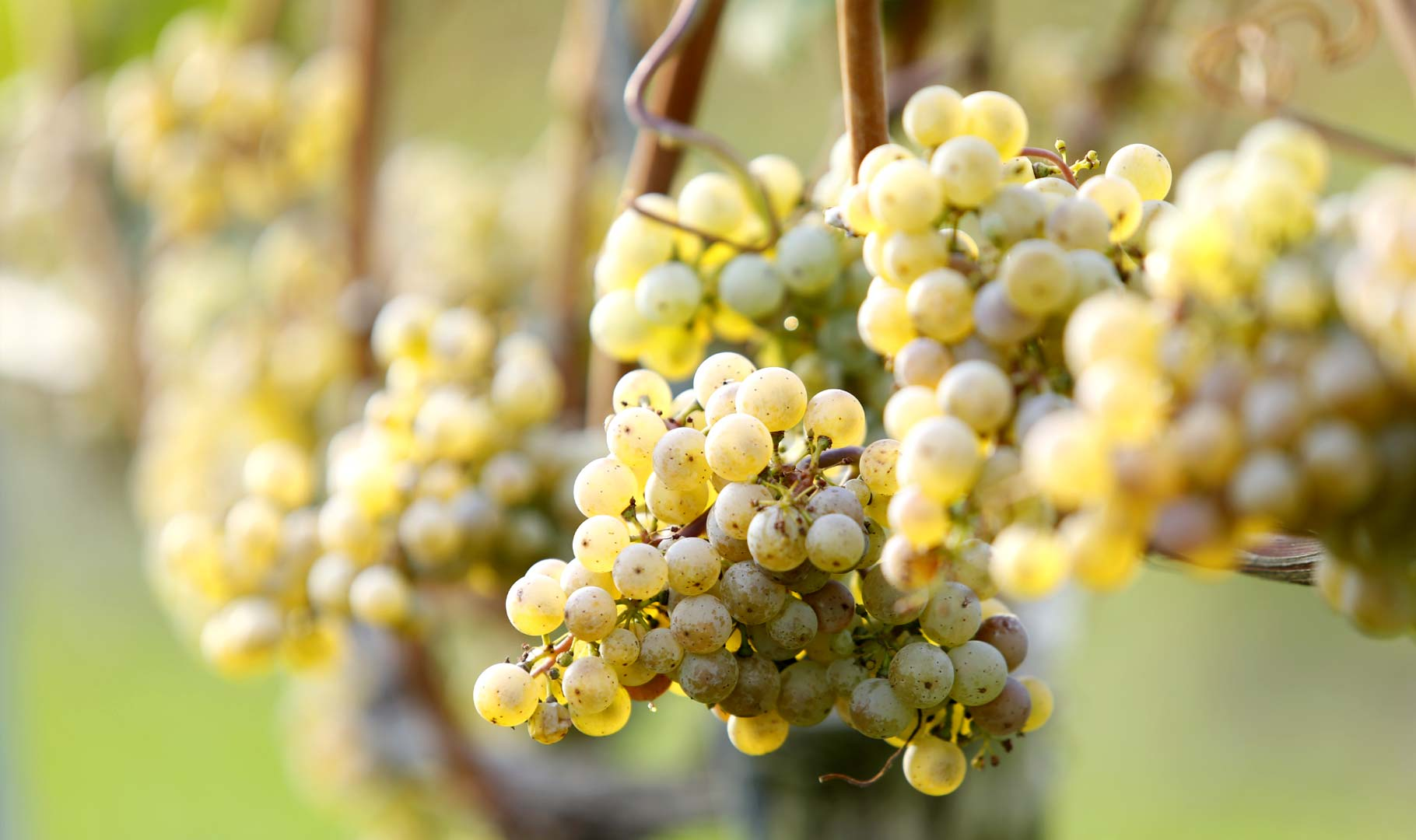 Grapevine with white grapes